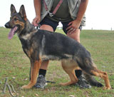 german shepherd Xanta Rapacov