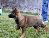 german shepherd puppy Yari