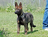 german shepherd  puppy Yasir