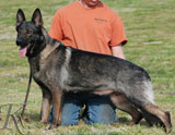 German Shepherd female Yaskia