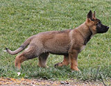 german shepherd puppy Yatzi