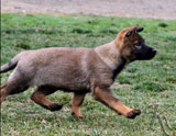 german shepherd puppy Yena
