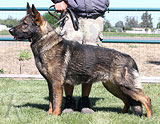 German Shepherd female Yessy Anrebri