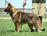 german shepherd Yoshy
