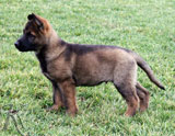 german shepherd puppy Yozi
