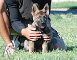 german shepherd puppy Zade