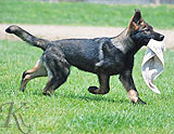 german shepherd Zaro