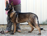 german shepherd  dog  Zed