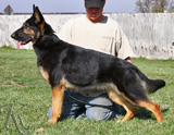 German Shepherd  Zizu