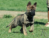 german shepherd puppy Zoe